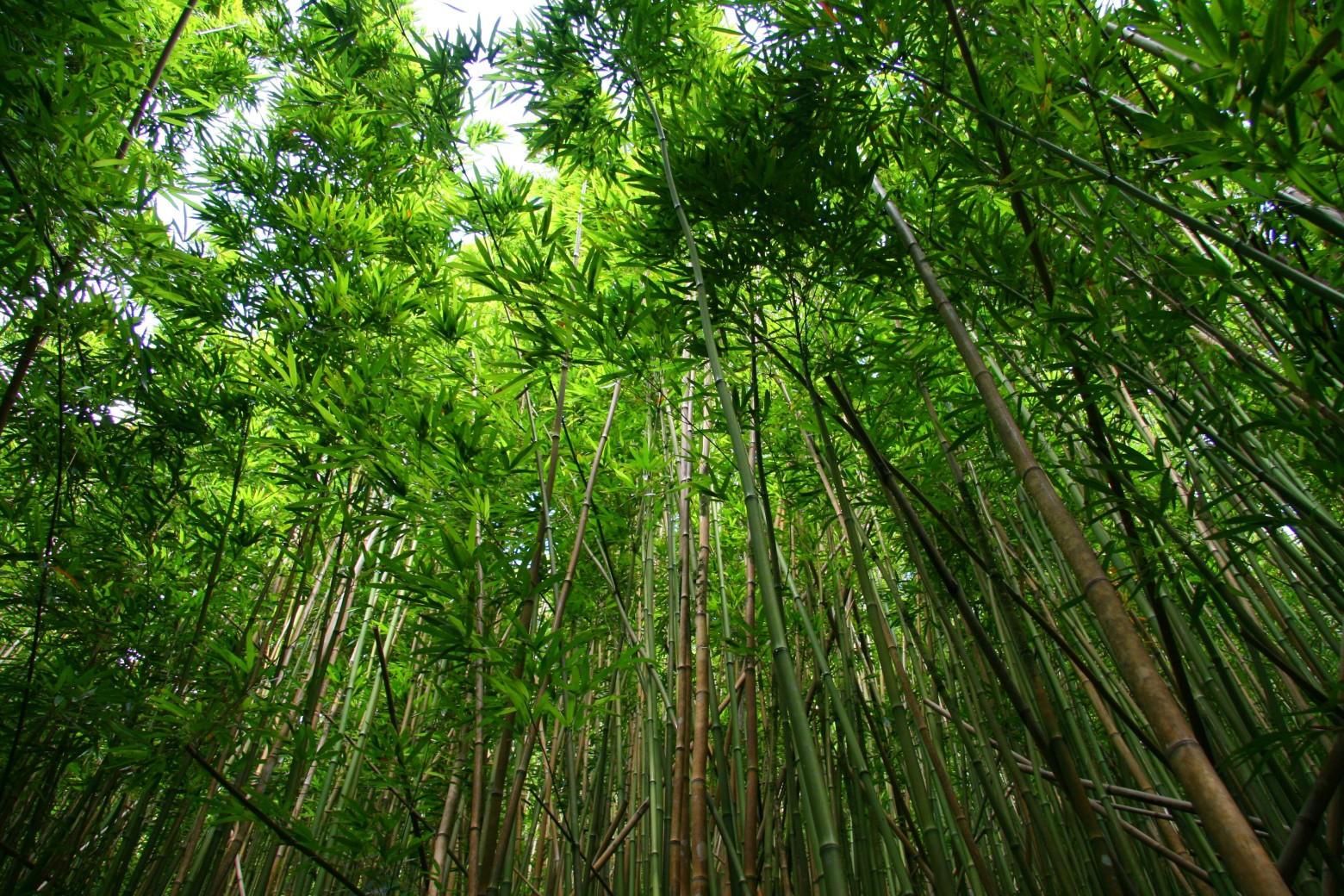 forêt-bois-de-bambou-vert-images-photos-gratuites-libres-de-droits-1560x1040